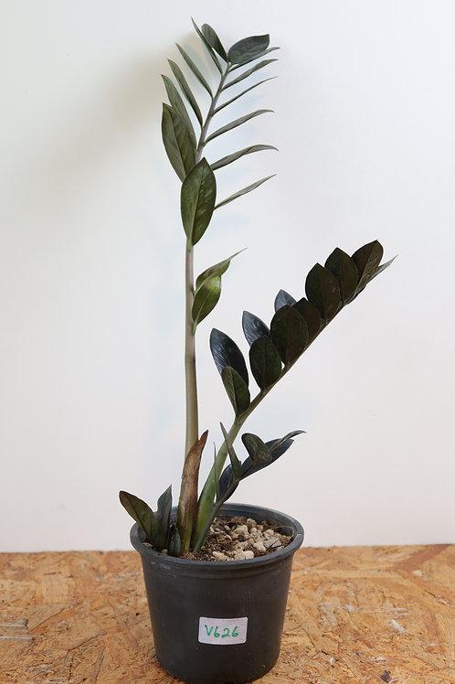 Zamioculcas zamiifolia raven V626