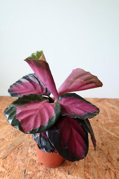 Calathea roseopicta crimson 004