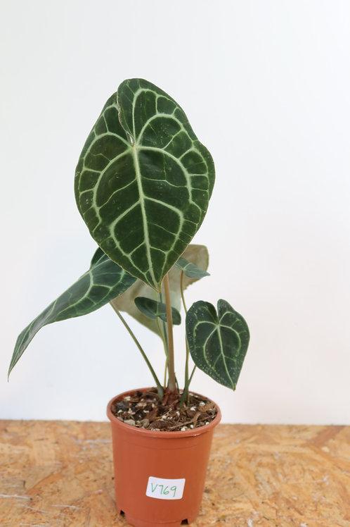 Anthurium clarinervium V769