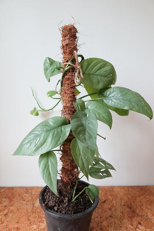 Epipremnum pinnatum Cebu Blue' 014
