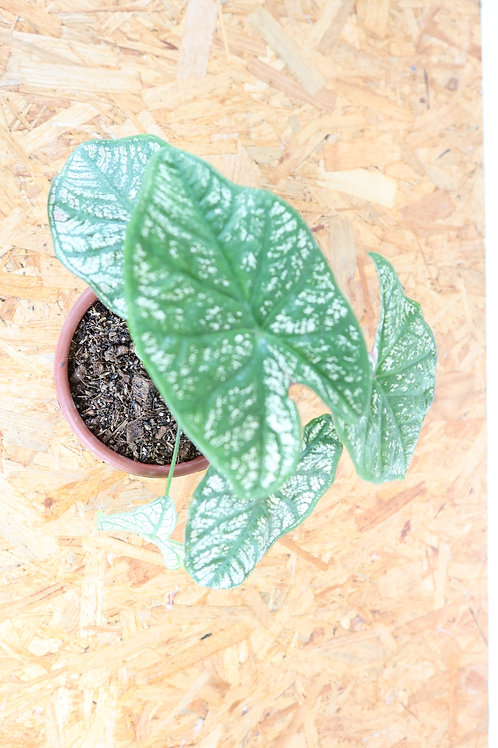 Caladium White Christmas V405