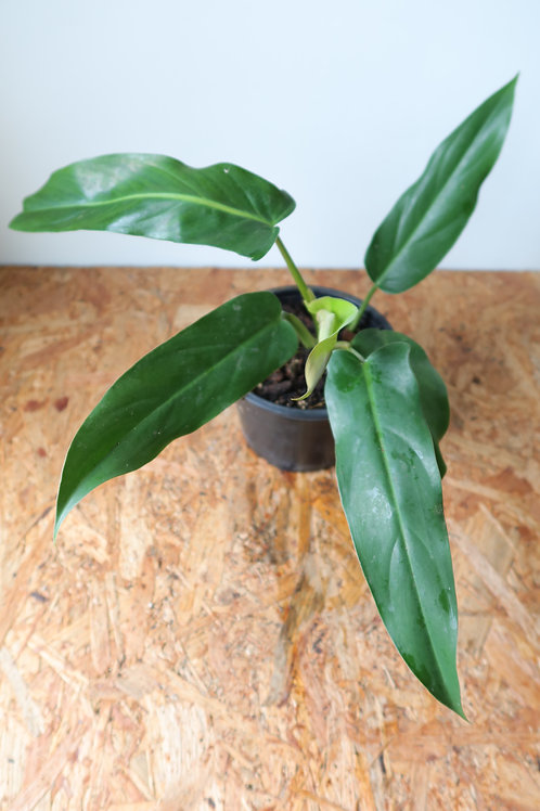 Philodendron mexicanum 001