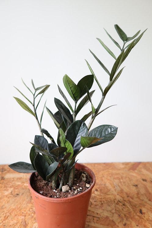Zamioculcas zamiifolia raven 005