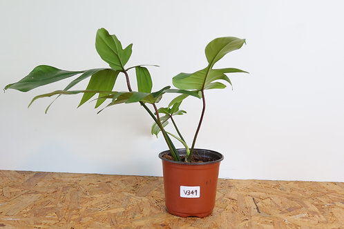 Philodendron florida green - V349