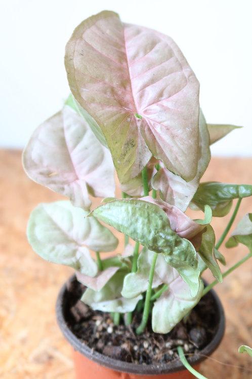 Syngonium Pink 003