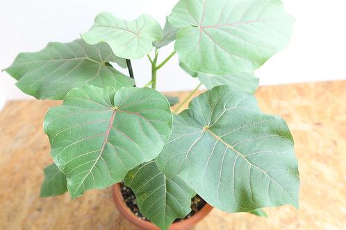 Ficus petiolaris V714