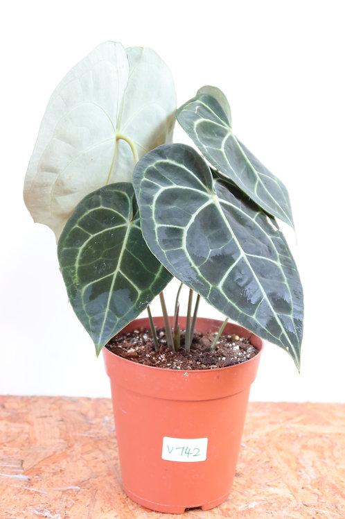 Anthurium clarinervium V742