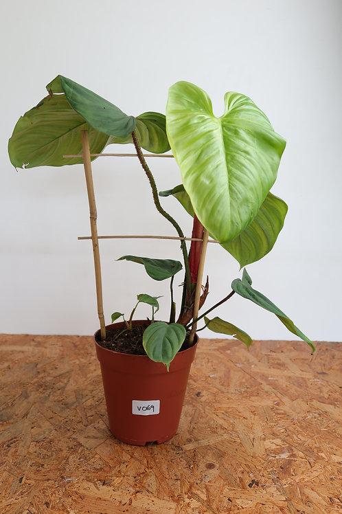Philodendron nangaritense V069