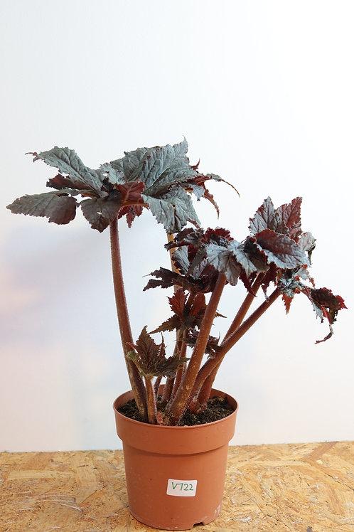 Begonia black taffeta V722