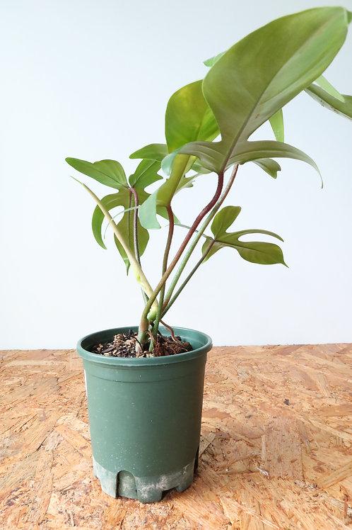 Philodendron florida green 008