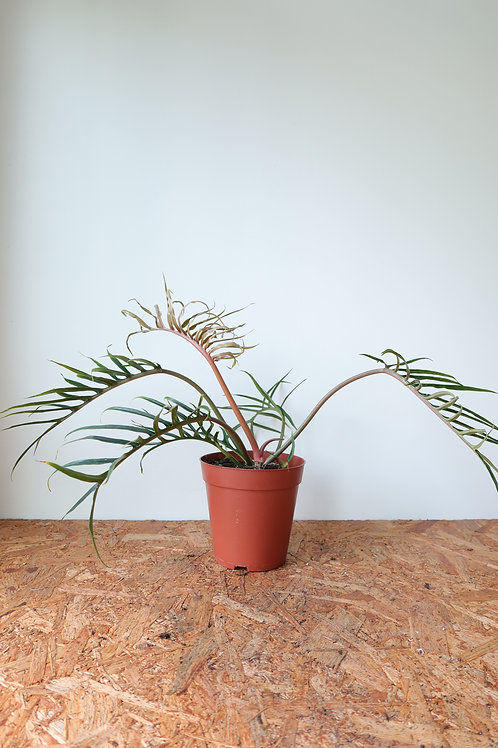 Philodendron Tortum 002