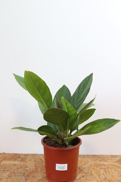 Anthurium elipticum Jungle Bush V886