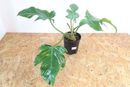 Philodendron squamiferum V786