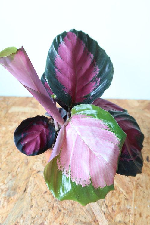 Calathea roseopicta crimson 003