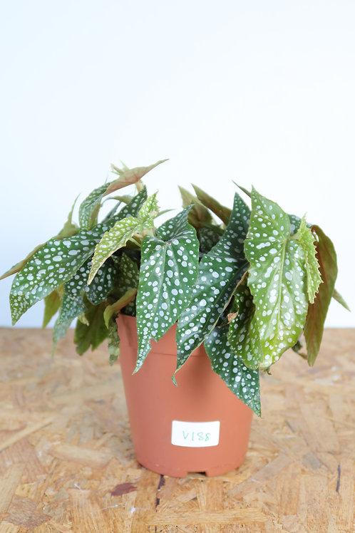 Begonia Hotspot V188