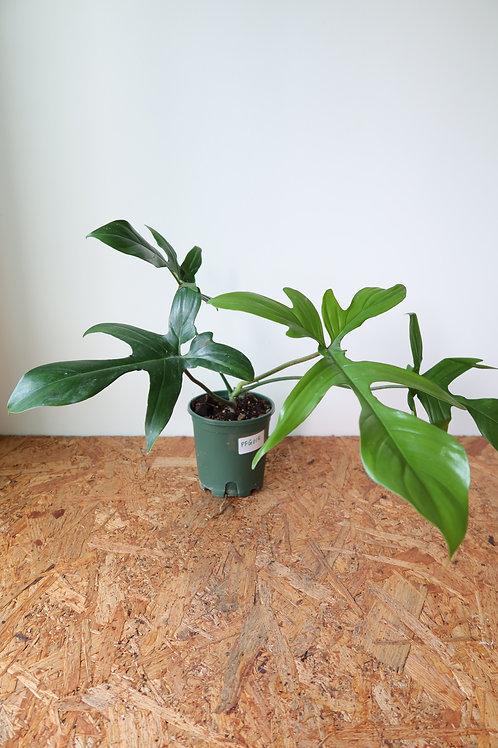 Philodendron florida green 015