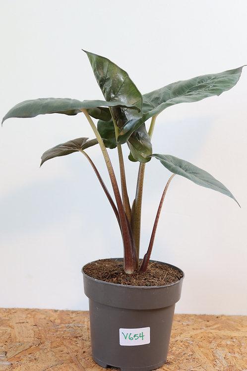 Alocasia sarawakensis 'Yucatan Princess' V654