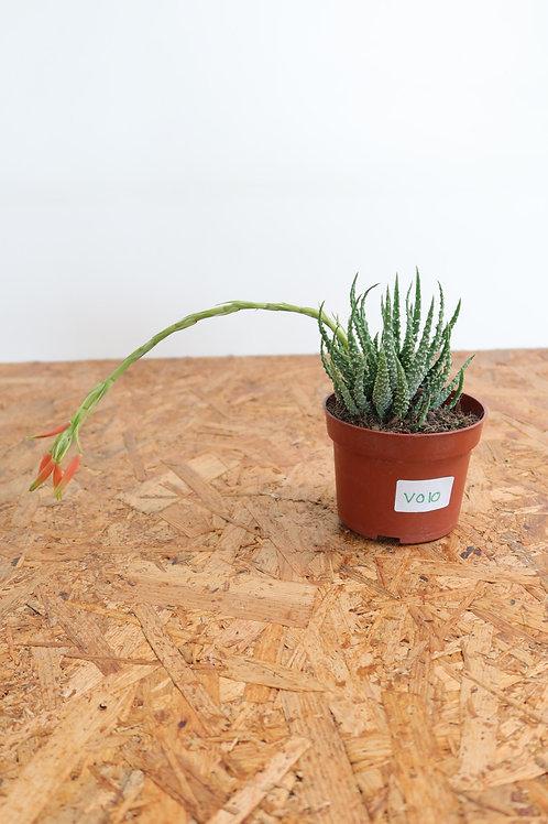 Aloe humilis V010