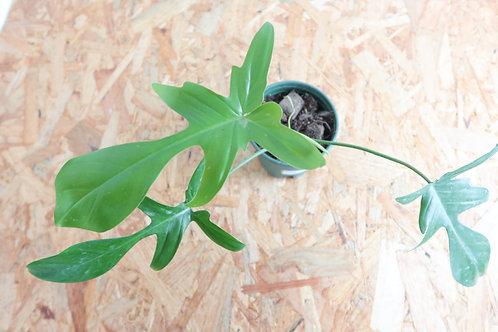 Philodendron florida green 020