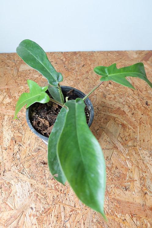 Philodendron squamiferum 003