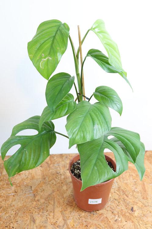 Rhaphidophora pertusa V514