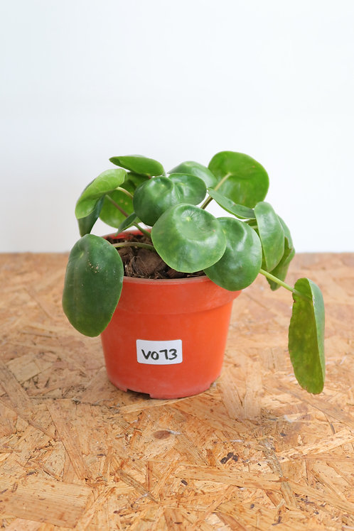 Pilea peperomioides V073
