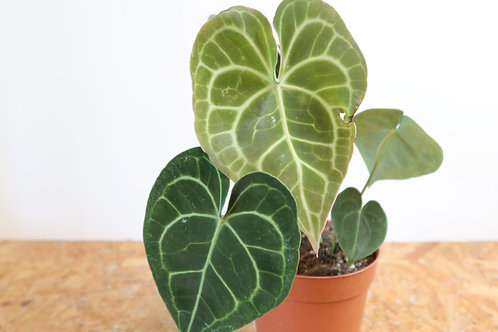Anthurium clarinervium V599