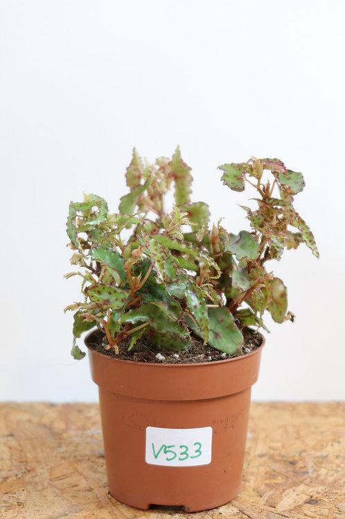 Begonia Amphioxus V533