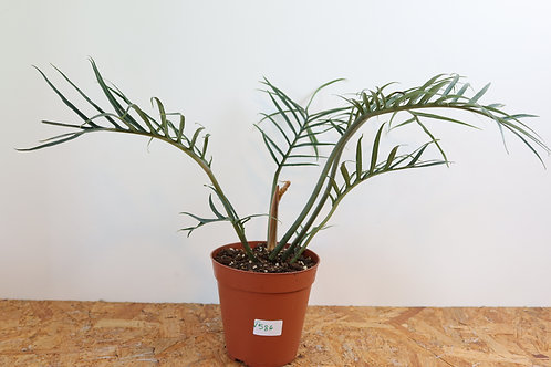 Philodendron Tortum V586