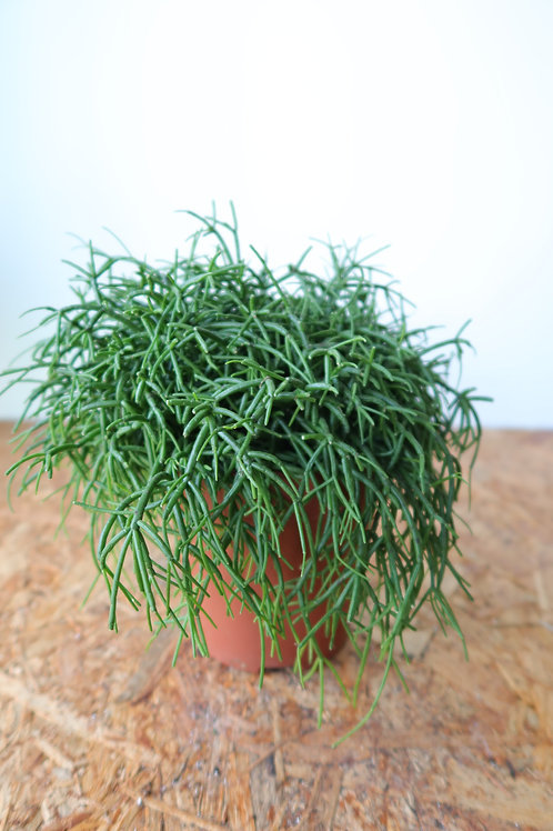 Rhipsalis baccifera 'Oasis' 001