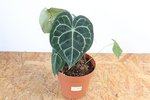 Anthurium clarinervium V784