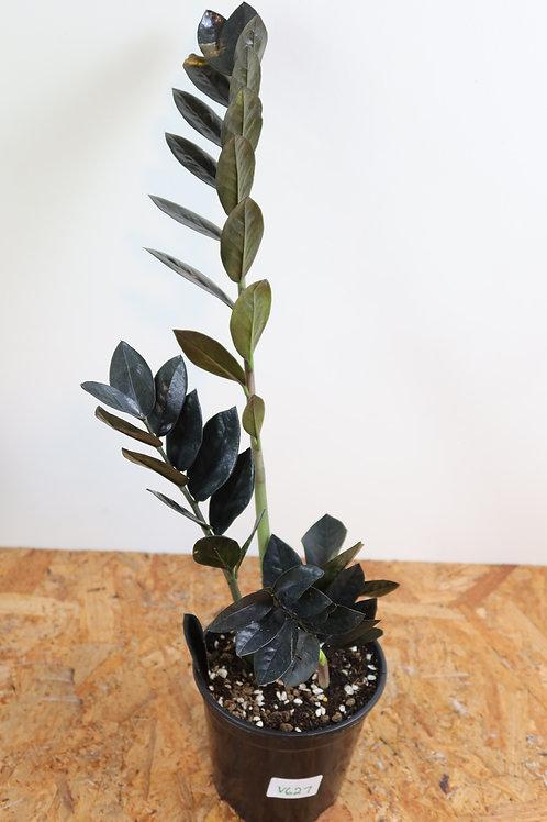 Zamioculcas zamiifolia raven V627