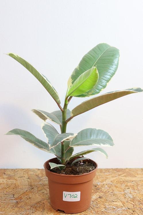 Ficus elastica tineke V702