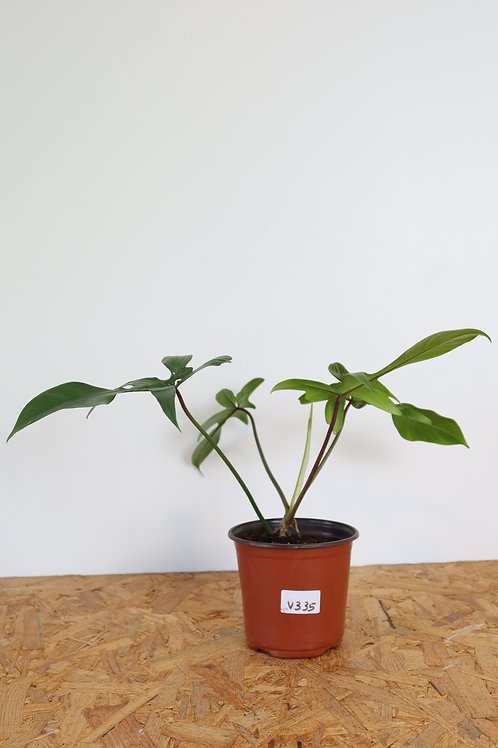 Philodendron florida green - V335