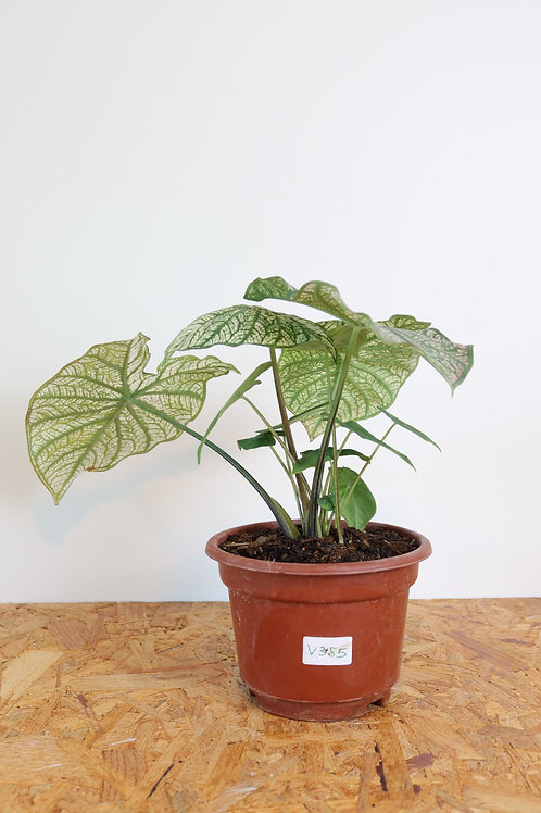 Caladium White Christmas V385