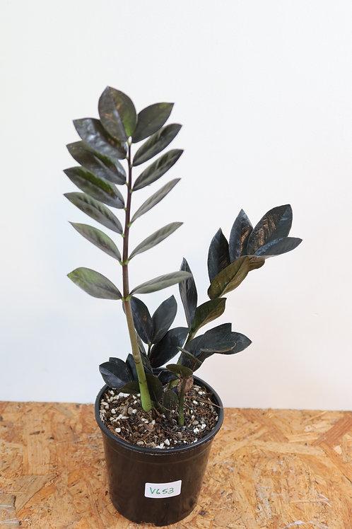 Zamioculcas zamiifolia raven V653