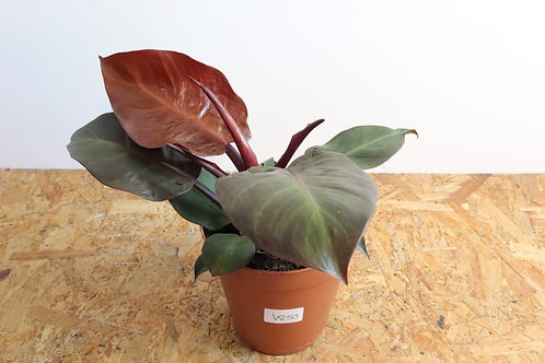 Philodendron Cherry V850