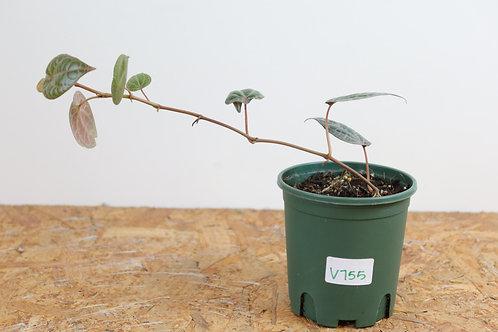 Piper Crocatum V755