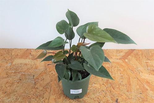 Anthurium andreanum 'Black love' V916