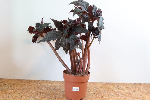 Begonia black taffeta V642