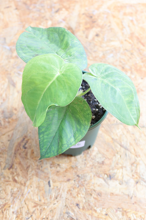 Syngonium 'Frosted Heart' V726