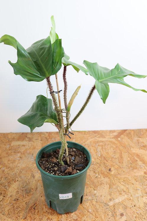 Philodendron squamiferum V513