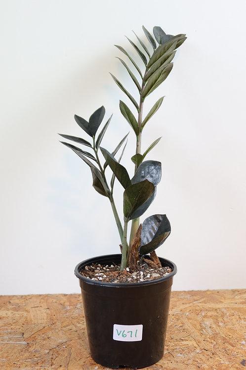 Zamioculcas zamiifolia raven V671