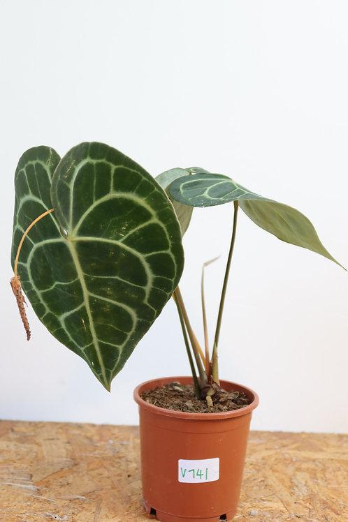 Anthurium clarinervium V741