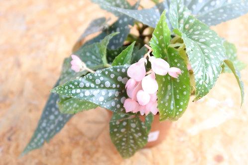 Begonia Hotspot V703