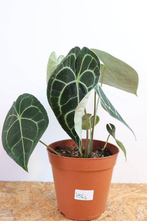 Anthurium clarinervium V566