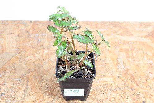 Begonia Amphioxus V759