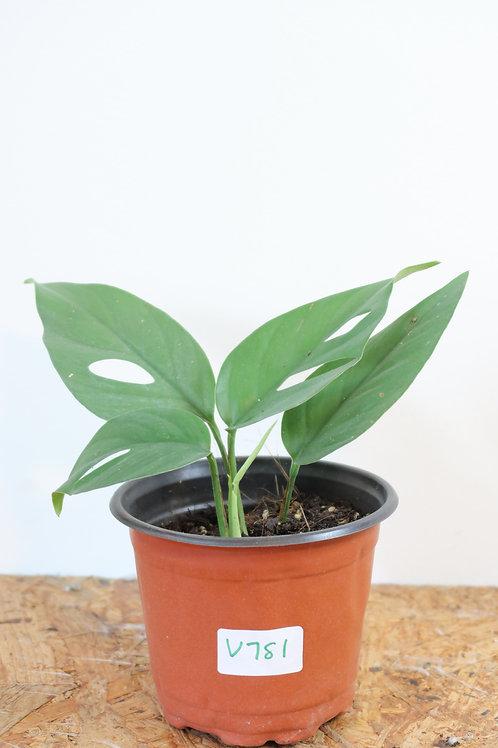 Rhaphidophora pertusa V781