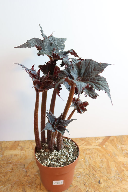 Begonia black taffeta V723