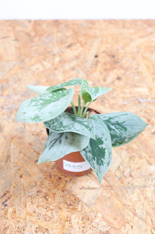 Scindapsus pictus SIlvery Ann V455
